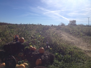 The farm offers u-pick pumpkins in their fields. Photo by Lauren Flum.